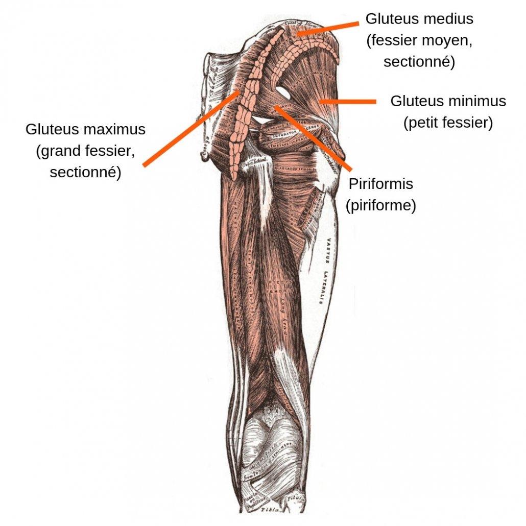 stretchingpro-etirements-fessiers-anatomie