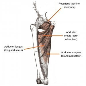 stretchingpro-etirements-adducteursr-anatomie