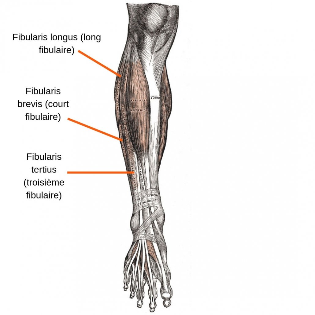 stretchingpro-etirements-cheville-anterieur-anatomie