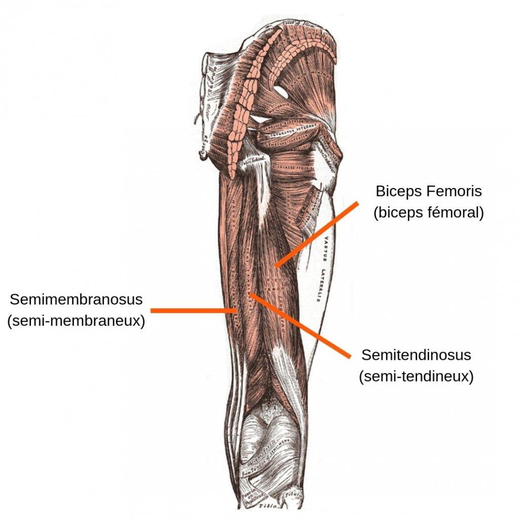 stretchingpro-etirements-ischios-jambiers-anatomie