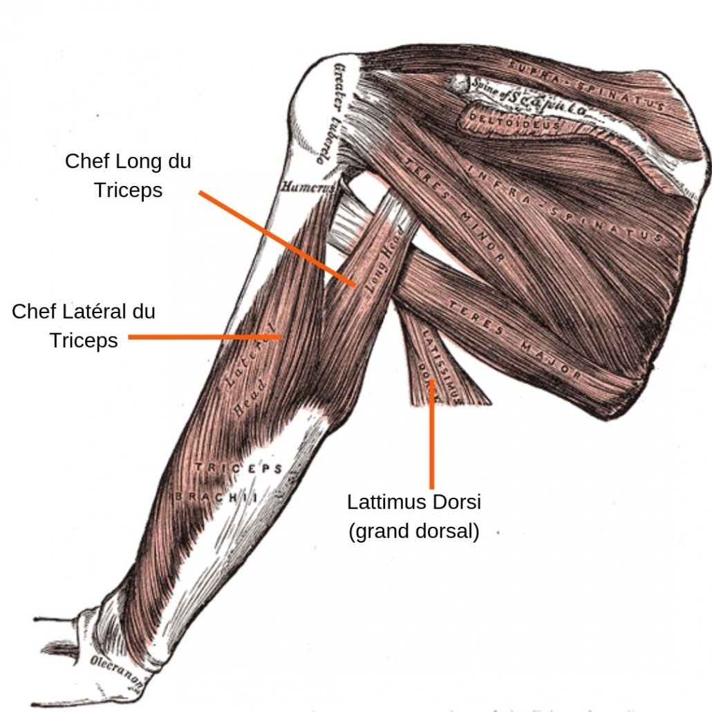 stretchingpro-etirements-triceps-anatomie