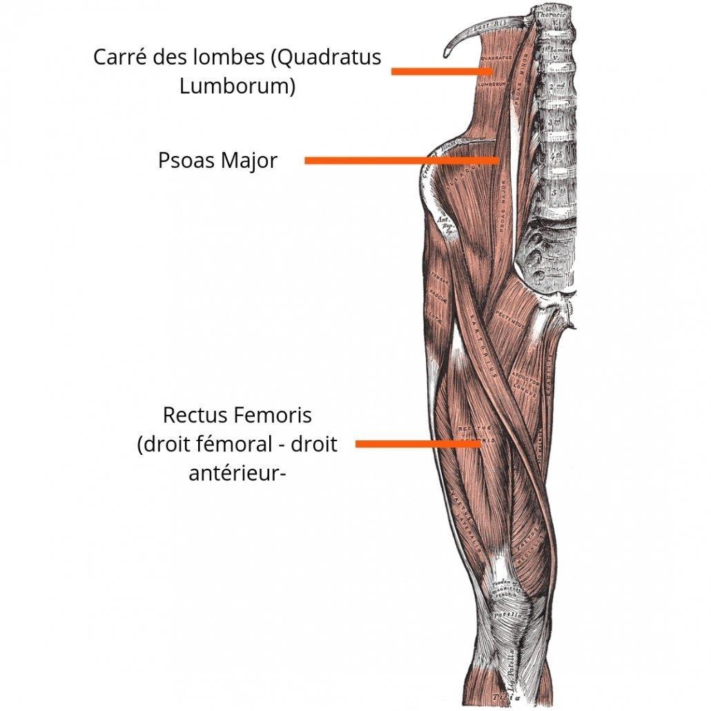 stretchingpro-etirements-hanche-anatomie-flechisseurs