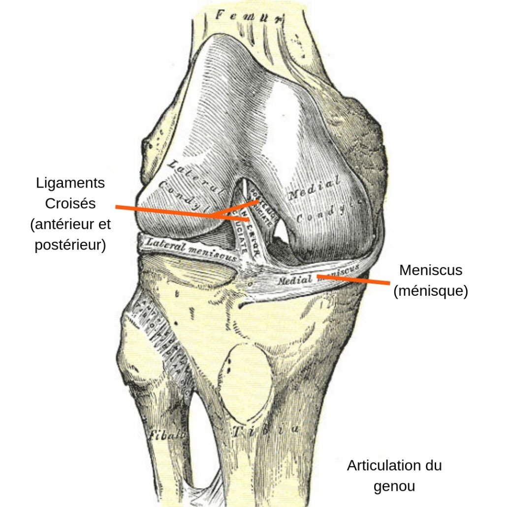 stretchingpro-etirements-genoux-anatomie