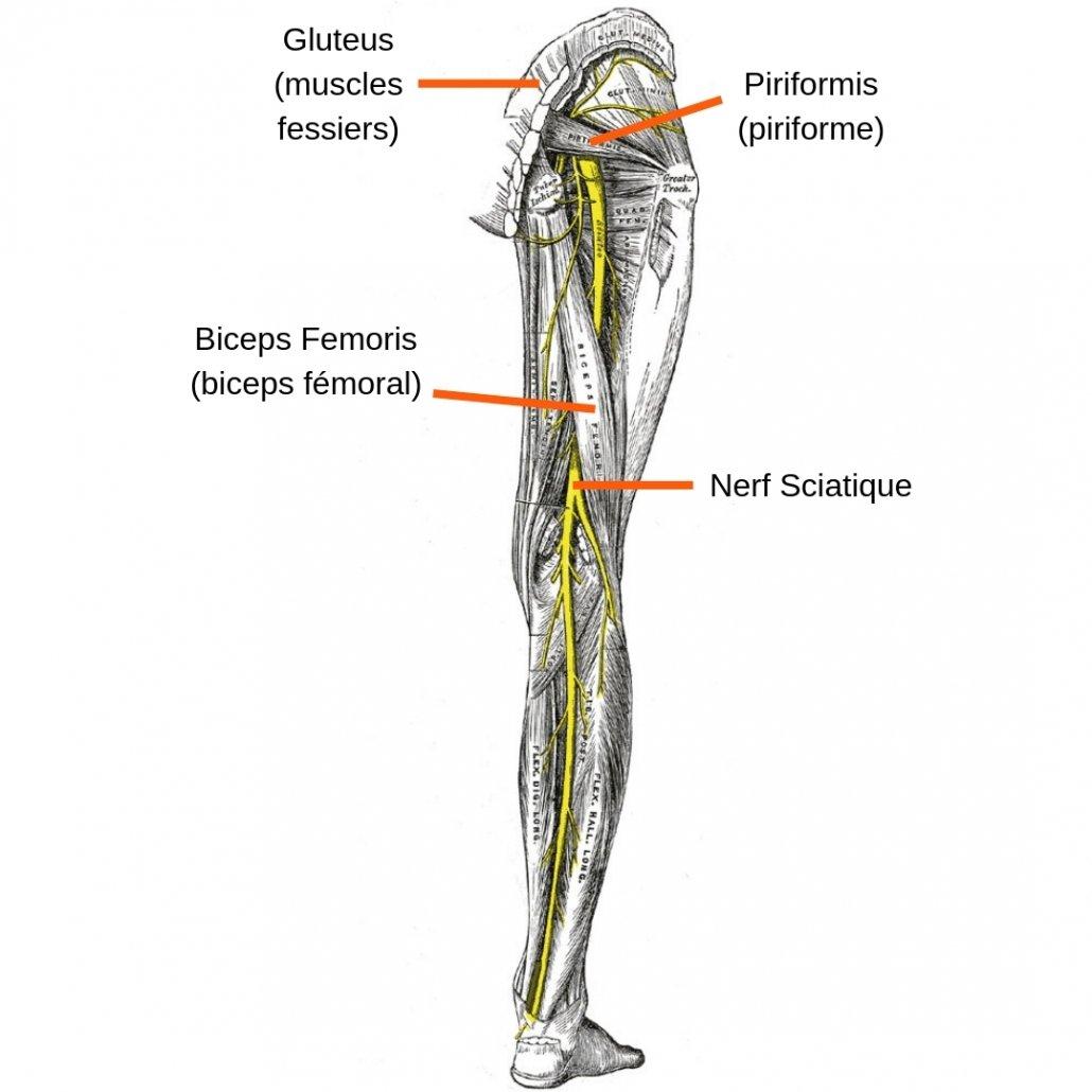 stretchingpro-etirements-nerf-sciatique-anatomie