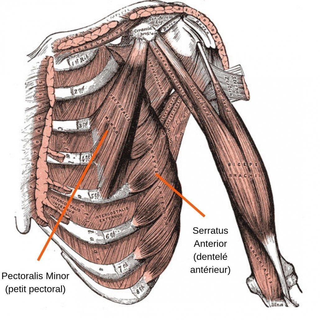 stretchingpro-etirements-pectoraux-anatomie-muscles-profond