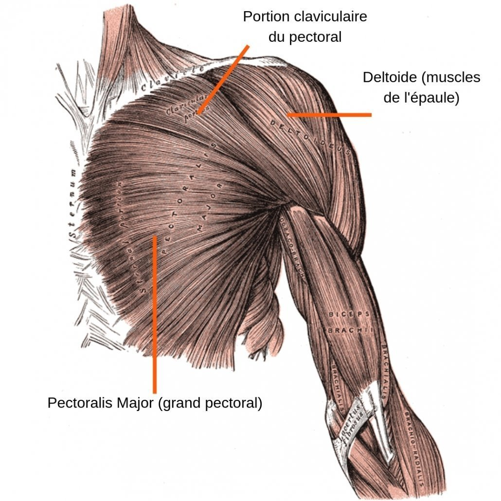 stretchingpro-etirements-pectoraux-anatomie-muscles-visibles