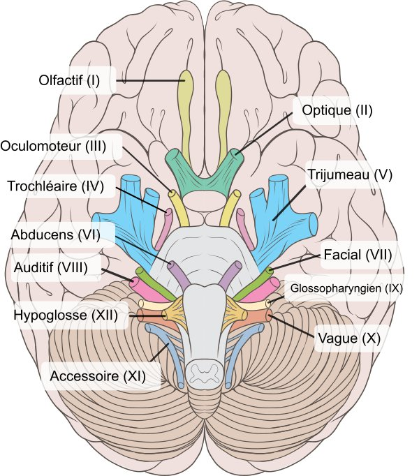 stretchingpro-nerf-cerveau