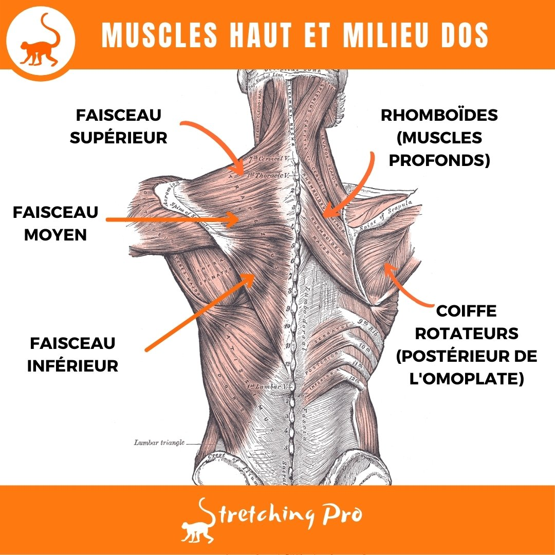 stretchingpro-detendre-trapèze-muscles-anatomie