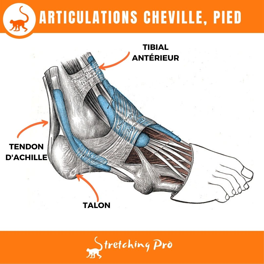 stretchingpro-mobilite-cheville-articulations