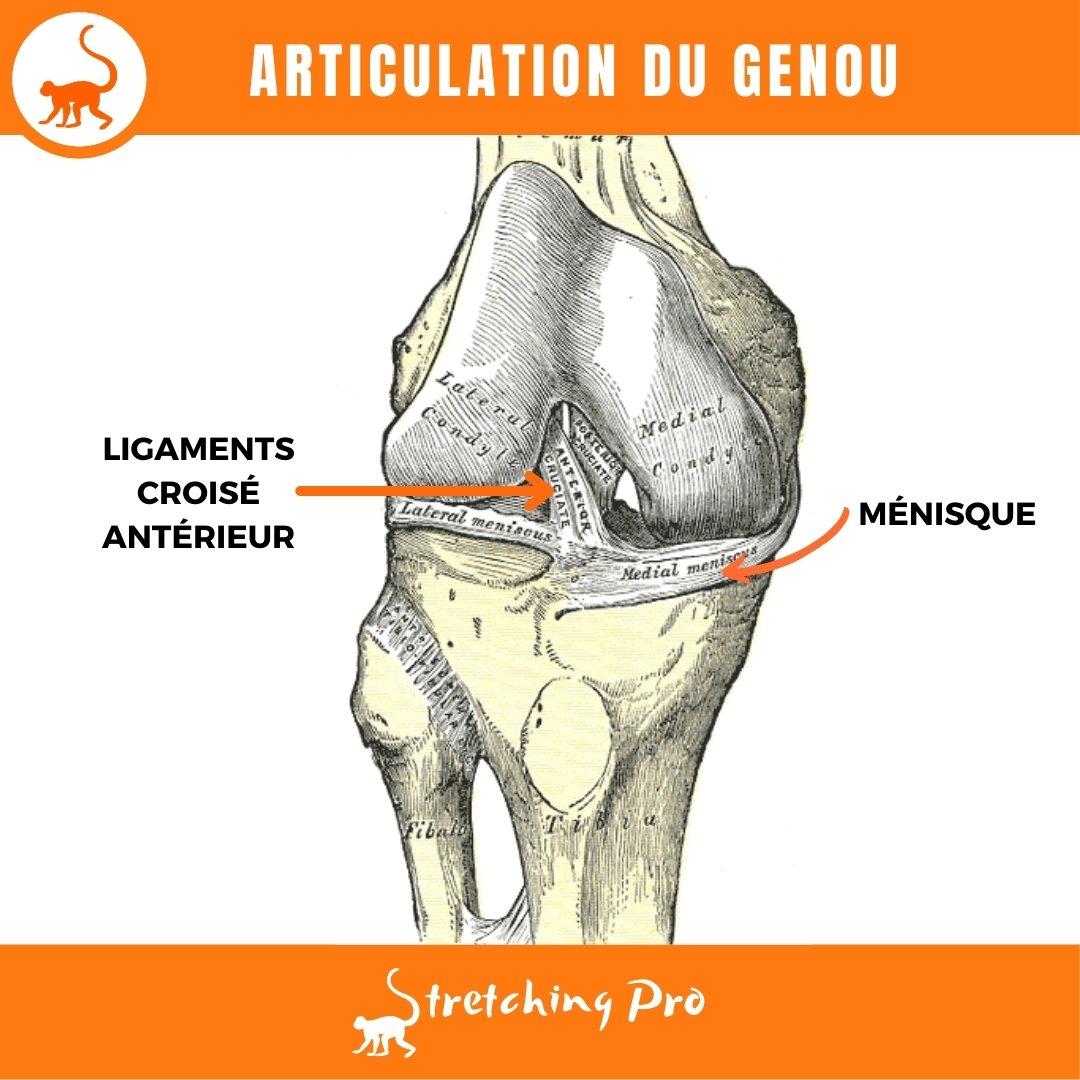 stretchingpro-mobilite-genou-anatomie